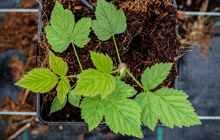 Growing Hall Hunter Raspberries