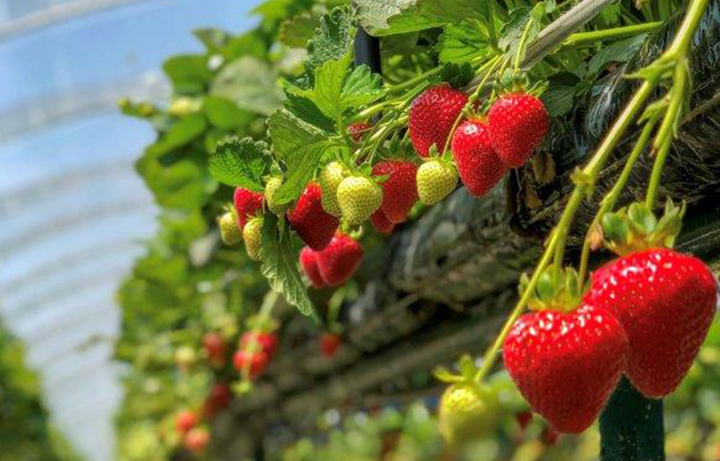 What Makes Our Fruit so Easy to Pick?